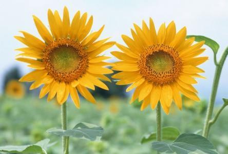读诗 更无柳絮因风起 惟有葵花向日倾