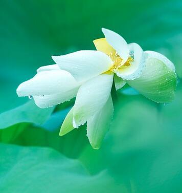 诗歌解读 莲之出淤泥而不染濯清涟而不妖