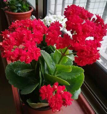 什么是长寿花 长寿花的花语以及养护方法