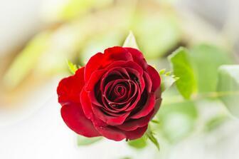 玫瑰花培植注意方法 玫瑰花种植技巧流程