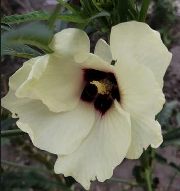 什么是秋葵花 秋葵为什么花开就一天时间